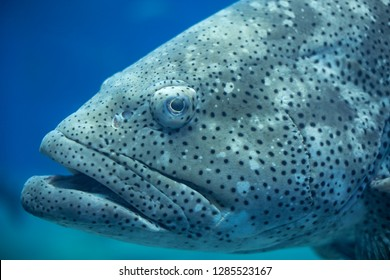 "Goliath Grouper , also known as ""jewfish"" is a large saltwater fish of the grouper family found in the eastern as well as western Atlantic ocean."