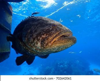 Goliath Grouper Looe Key National Park Florida Keys