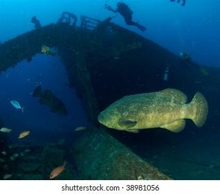 Goliath Grouper on the MV Castor