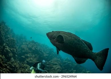 Goliath Grouper Bilder Stockfotos Vektorgrafiken Shutterstock