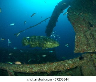 Goliath Grouper & Wreck