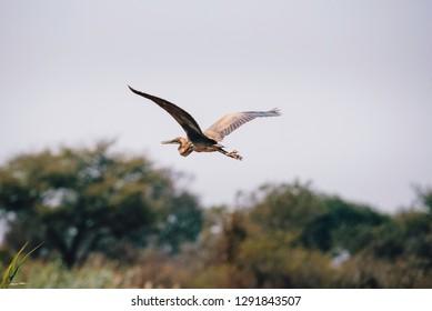 Goliath heron (Ardea goliath) flying over the savannah, Kwando River, Caprivi, Namibia