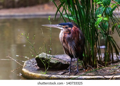 Goliath Heron (Ardea goliath), also known as the Giant Heron, is a very large wading bird of the heron family Ardeidae.
