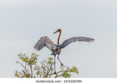 Goliath heron (Ardea goliath) landing on a branch, Murchison Falls National Park, Uganda.
