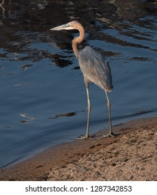 Goliath heron (Ardea goliath) looking for a fish at the water pool in the hot summer day in Ruaha National Park in Tanzania