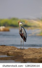 Goliath Heron (Ardea goliath) - On a rock island in the Chobe River. Photographed from a boat. Chobe National Park, Botswana.