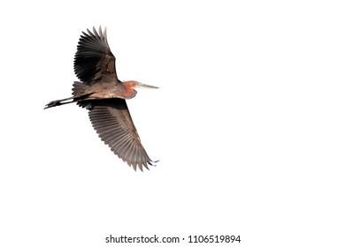 Goliath heron, Ardea goliath, single bird in flight, Gambia, February 2016