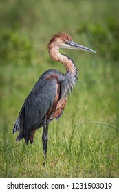 The Goliath Heron or Ardea goliath is standing on the ground in nice natural environment of Uganda wildlife in Africa