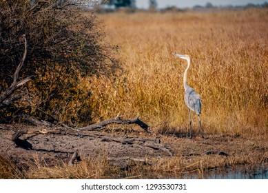 Goliath heron (Ardea goliath) standing on the riverside of Kwando River, Caprivi, Namibia