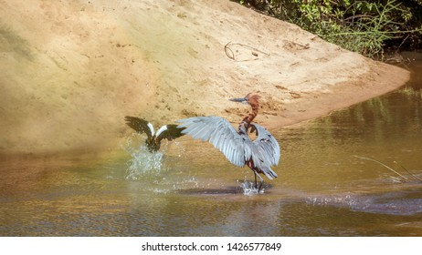 Goliath heron chassing one egyptian goose in Kruger National park, South Africa ; Specie Ardea goliath family of Ardeidae