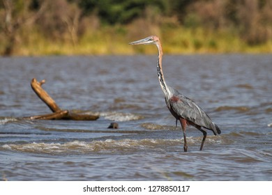 Goliath heron fishing in Lake Chamo - Ethiopia