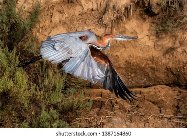 A goliath heron in flight with a mud river bank in the background. South Africa.