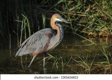 Goliath heron or giant heron (Ardea goliath). KwaZulu Natal. South Africa
