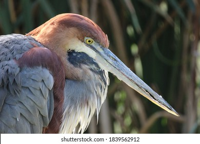 The Goliath heron, also known as the giant heron, is a very large wading bird of the heron family, Ardeidae. It is found in sub-Saharan Africa, with smaller numbers in Southwest and South Asia.
