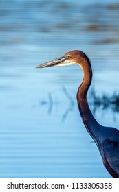 Goliath heron in Kruger National park, South Africa ; Specie Ardea goliath family of