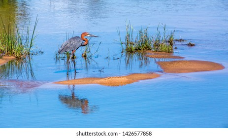 Goliath heron in Kruger National park, South Africa ; Specie Ardea goliath family of Ardeidae