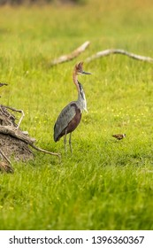 Goliath Heron Latin name: Ardea goliath