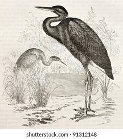 Goliath Heron old illustration (Ardea goliath). Created by Kretschmer, published on Merveilles de la Nature, Bailliere et fils, Paris, ca. 1878