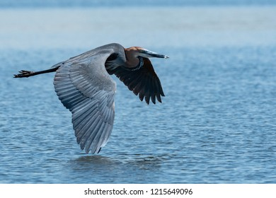 Goliath Heron on the wing