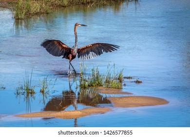 Goliath heron spreading wings in Kruger National park, South Africa ; Specie Ardea goliath family of Ardeidae