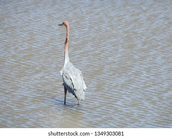 Goliath heron standing in the water.