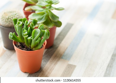 Gollum Jade (Crassula ovata)