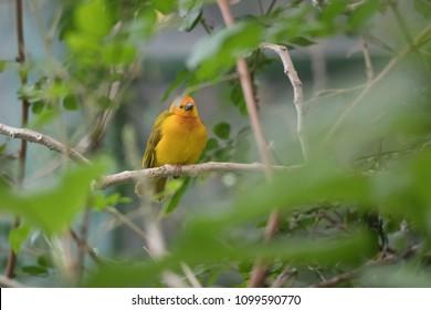 Golub's Golden Weaver bird on a branch