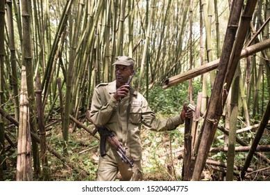 Goma / Democratic Republic of the Congo – October 13, 2016: Congolese National Park Ranger carrying AK47 rifle in Virunga National Park leading tourists along a bambu forest to find mountain gorillas