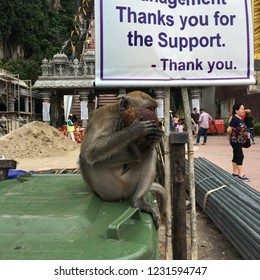 Gombak / Selangor / Malaysia - November 2017: Adult macaque eating some coconut flesh while sitting on a  old plastic garbage bin at the entrance of Batu Caves.