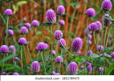 Gomphrena Globosa Flowers is a species of flowering plant of the genus Gomphrena; This plant is a seasonal herb planted in the backyard or yard as an ornamental plant.