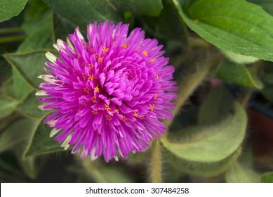 Gomphrena Pink Zazzle purple flower