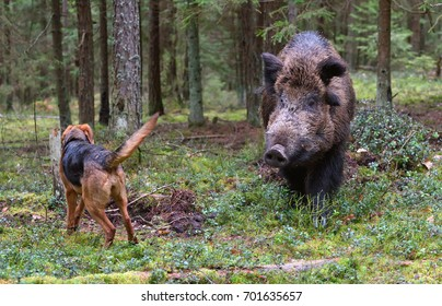 Gonchak hound, a National dog breed of Belarus,  hunting on wild boar in green forest