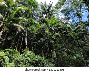 Gondwana rainforest Natural Palms