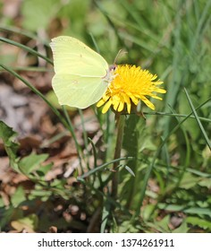 gonepteryx on dandelion