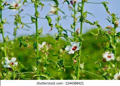 Gongura flowers and buds on the plant in farm field