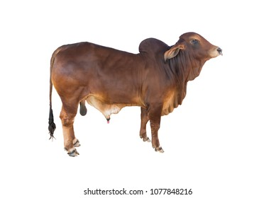 Good brahman cow isolate on white background,This has clipping path,The best cow in thailand