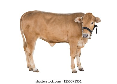 Good brahman cow isolate on white background,This has clipping path