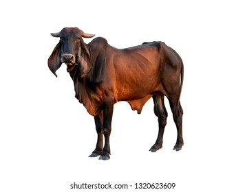 Good brahman male cow isolate on white background,This has clipping path