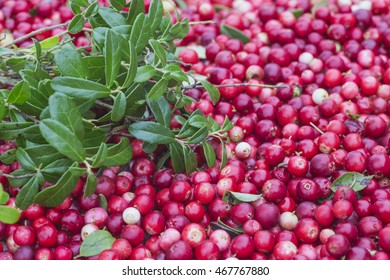 A good crop of cranberries.Selective focus