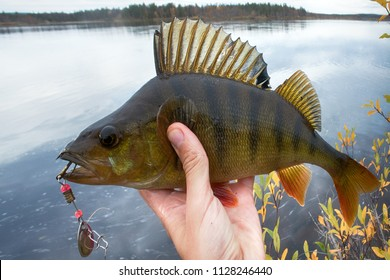 Good fishing on Northern rivers, caught perch. Big perch fish in hands, catch of fisherman, fishing fall, in autumn fishing. Bass on background of yellow trees and lake. Men's autumn leisure