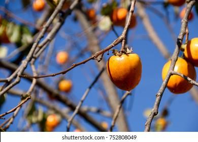 "Good harvest. Fruits of persimmon - Diospyros kaki. It is called ""Kaki"" in Japan."