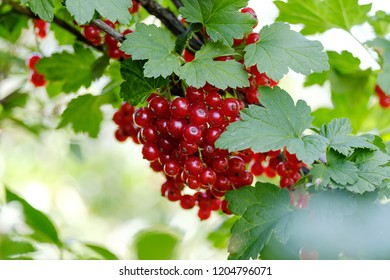 a good harvest of red currants on a branch in the garden, a summer day of berries for jam and healthy food