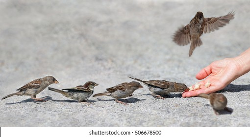 Good man helps and feeds the tiny one by one in sequence sparrow