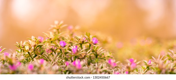 Good Morning Banner background with pink Portulaca flowers and yellow and orange tones