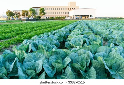 Good morning Cabbage   field  in   Osaka