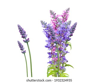 Good Morning flowers. Salvia in the with white Background.