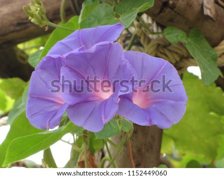 Good Morning Morning Glory Purple Flowers Beautiful Stock Photo