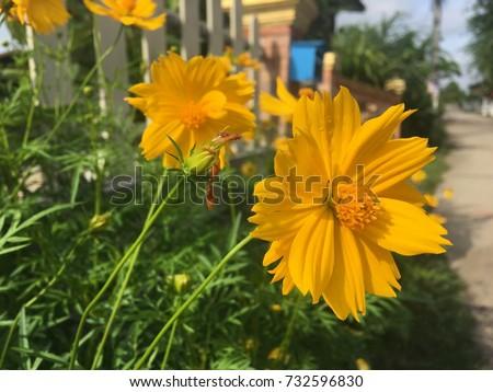 Good Morning Yellow Flower Stock Photo Edit Now 732596830