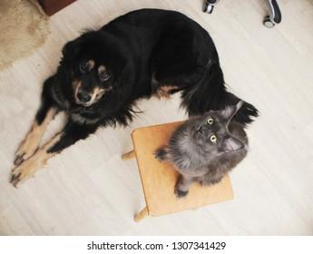 Good pets-maine coon cat and tibetan mastiff