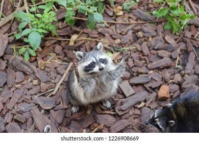 good raccoon at the zoo